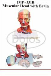 Head Musculature With Brain