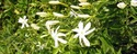 Commsiphoia Murrha Plants
