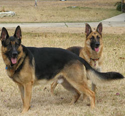 Our Pets German Shephered Service Provider From Ahmedabad