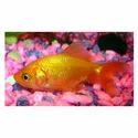 Golden Goldfish