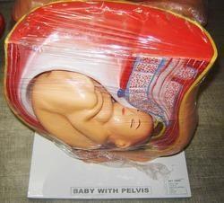 Baby with Pelvis Model