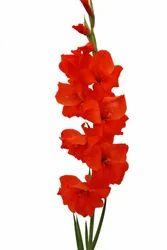 Hunting Song Gladiolus
