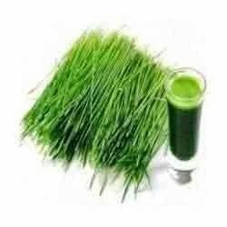 Wheatgrass Extract Powder