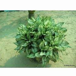 Aglaonema Foliage Plants