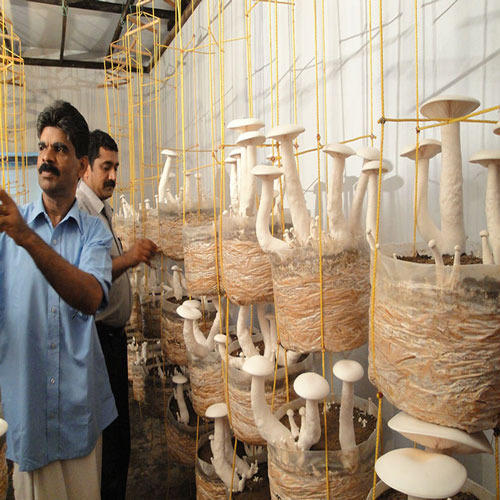 Mushroom Farming Services, Dhingri Farming Services in India
