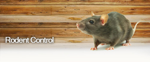 What should you look for in a rodent control company?