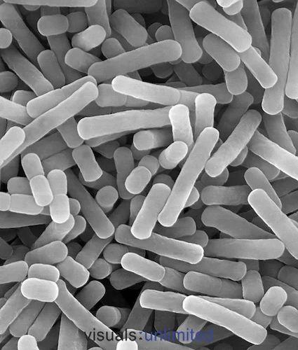 probiotics - lactobacillus fermentum (lyophilized culture, Skeleton