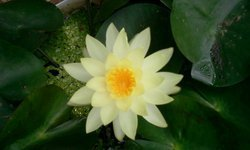 Off White Water Lily Pool Plants