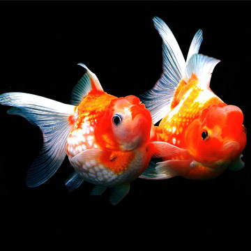 Aquarium Fish Tiger Barb Fish Wholesaler From Vadodara