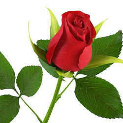 Rose Flower Fresh Flowers Plants Trees Aishu Exporter In