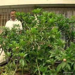 Chiku Fruit Plants