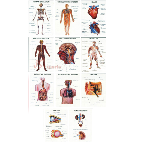 Human Anatomy Model, Laboratory & Lab Equipment | J. S. Exports in ...
