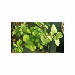 Bala / Country Mallow / Sida Cardifolia