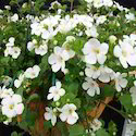 Bacopa Plant Dry Extracts