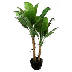 Banana Plant Whole Price Mandi