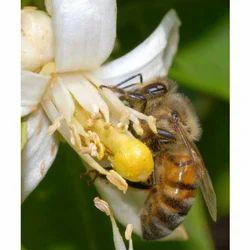 Apis Mellifera Bees