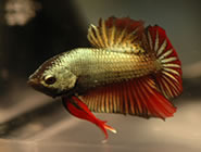 Plakat Betta Fish - View Specifications & Details of
