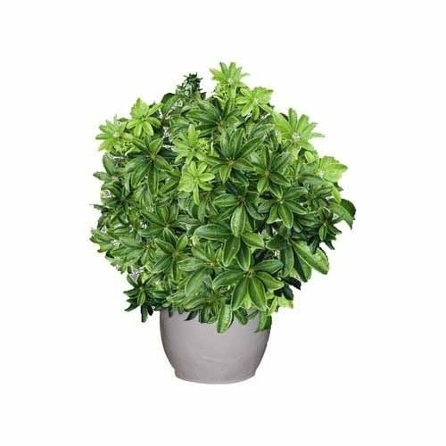 Umbrella Plant Toxic: Schefflera Plant At Rs 500 /piece