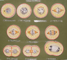 mitosis of an animal cell