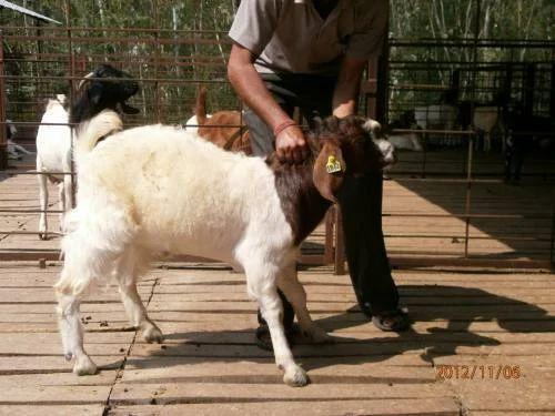 Boer Goat and Damascus Goat Service Provider | Nimbkar Seeds