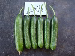 Valley Star Cucumber Seeds