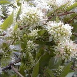 Shrub Plants Abelia Chinensis Ornamental Plant Manufacturer From