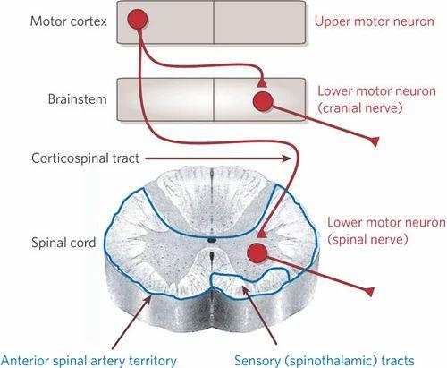 Neuron diagram anterior auto wiring diagram today motor neuron disease in mumbai id 6001307548 rh indiamart com blank neuron diagram motor neuron diagram ccuart Image collections