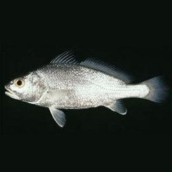 Fresh Fish In Thane Maharashtra Suppliers Dealers