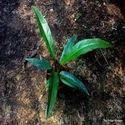 Bird's Nest Anthurium