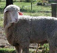Bannur sheep farming in bangalore dating