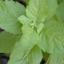 Ocimum Tenuiflorum Leaves