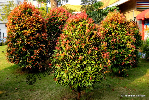 Decorative Plant and Fruit Plants Exporter | The Indian