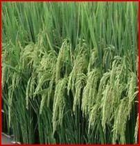 Imp. Paddy Food Grains