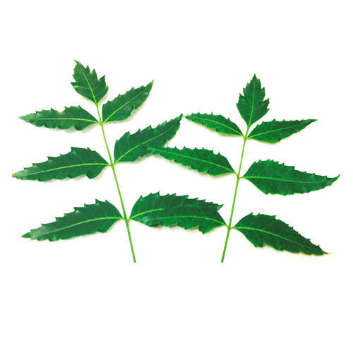 Neem Leaves at Best Price in India