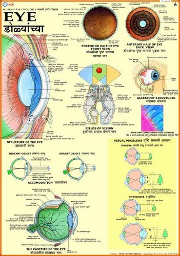 Human eye human physiology at rs 150 pieces human anatomy human eye human physiology ccuart Gallery