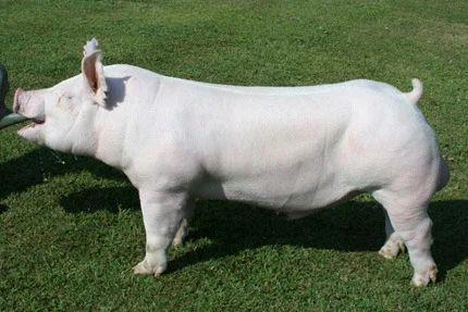 royal pig farm manufacturer of large white pig large white