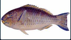 Parrot Fish - Scarus