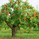 Fruit Plants Wholesale Price For Fruit Plants In India