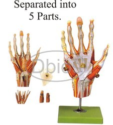 Hand Anatomy Model