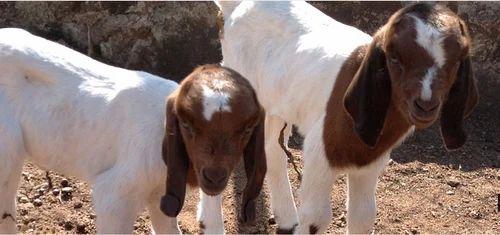 Vedant Goat Farm , Kolhapur - Animal / Crop Production of Sirohi
