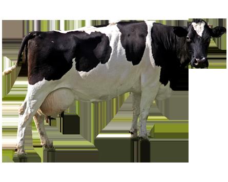 Dairy Farming Holstein Friesian Cow ...