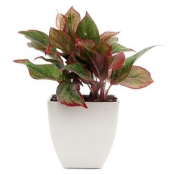 exotic-red-aglaonema-green-plant-250x250 Red Aglaonema Houseplants on red gerbera, red crotons, red fittonia, red house plants, red camellia, red acacia, red allamanda, red flowering plants, red narcissus, red photinia, red pineapple, red anthurium, red zebra plant, red peace lily, red tropical plants names, red angelonia, red aster, red variegated plants, red wandering jew, red anemone,