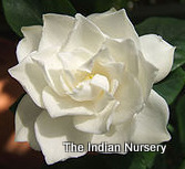 Fragrant Rosy Gardenia