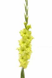 Evergreen Gladiolus