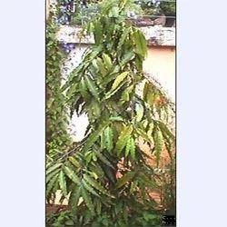 Polyalthia Longifolia Feet Plant