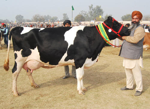 Image result for punjab cow