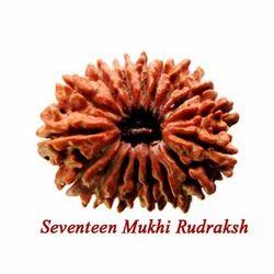 Seventeen Mukhi Rudraksha
