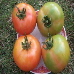 Green Hybrid Tomato Seeds F1 Mohit 18 ( Sakura Seed), Packaging Size: 10 Gm