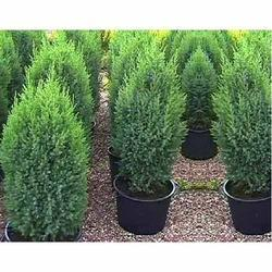 christmas tree manufacturer from delhi - Christmas Tree Plant