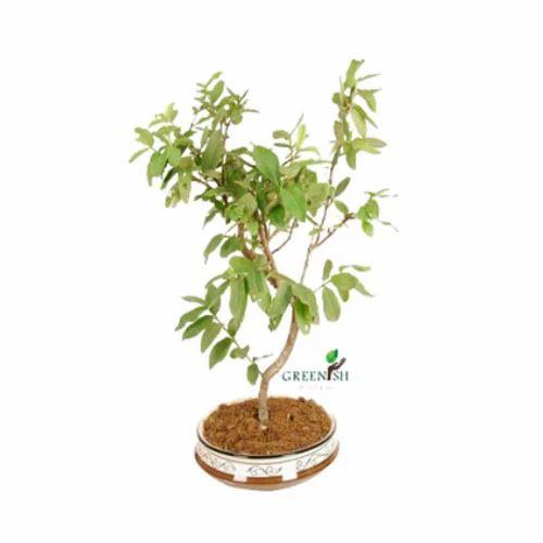 Guava Bonsai Tree À¤¬ À¤¨ À¤¸ À¤ˆ À¤ª À¤§ In Hauz Khas New Delhi Haryali Id 8298669833